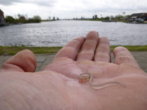 Glasaal Kinderdijk glasaaldetector Visserij Service Nederland