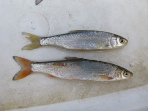 vispassage H.A. van Beuningen